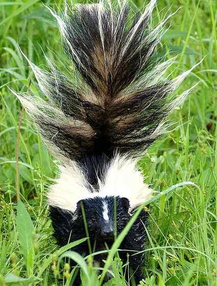 Skunk Control West Linn Oregon
