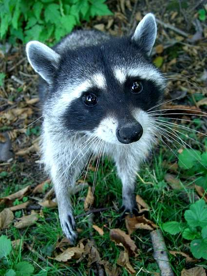 Raccoon Removal in West Linn, OR
