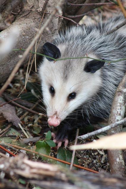 opossum removal porland