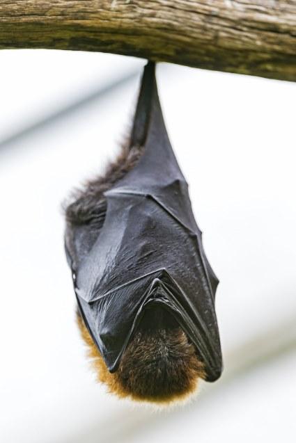 Portland bat control